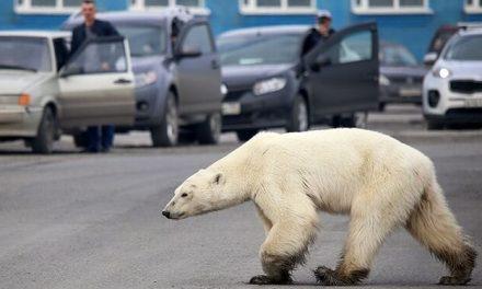 Preocupación por el oso polar que come de la basura a 800 km. de su hábitat